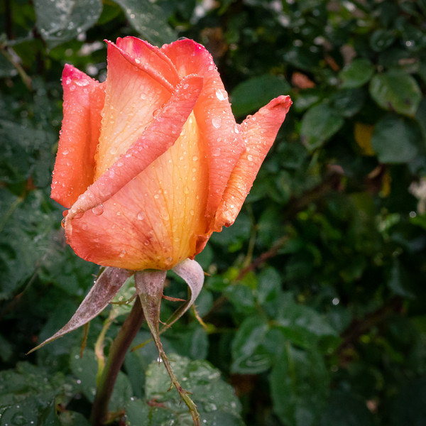 Rosebud covered with raindrops