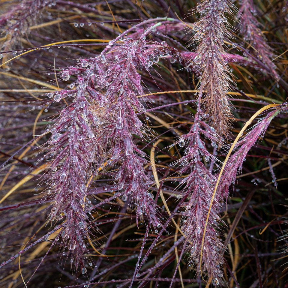Purple Fountain grass dripping with rain drops