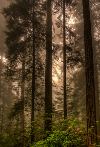 LBJ Grove, Redwood National Park, California