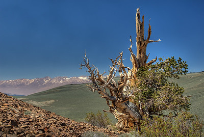 Ancient Bristlecone Pine, California