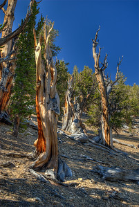 Ancient Bristlecone Pines, California