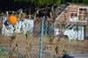 Urban Farming in Oakland, California: pumpkin patch on barbed wire fence!<br /> 2013<br /> <br /> ©MegSeidel