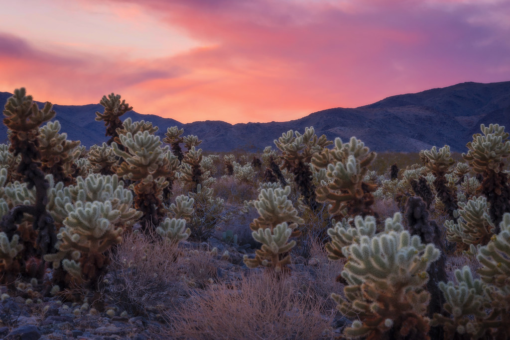 Cholla Gardens Sunset (Joshua Tree National Park)