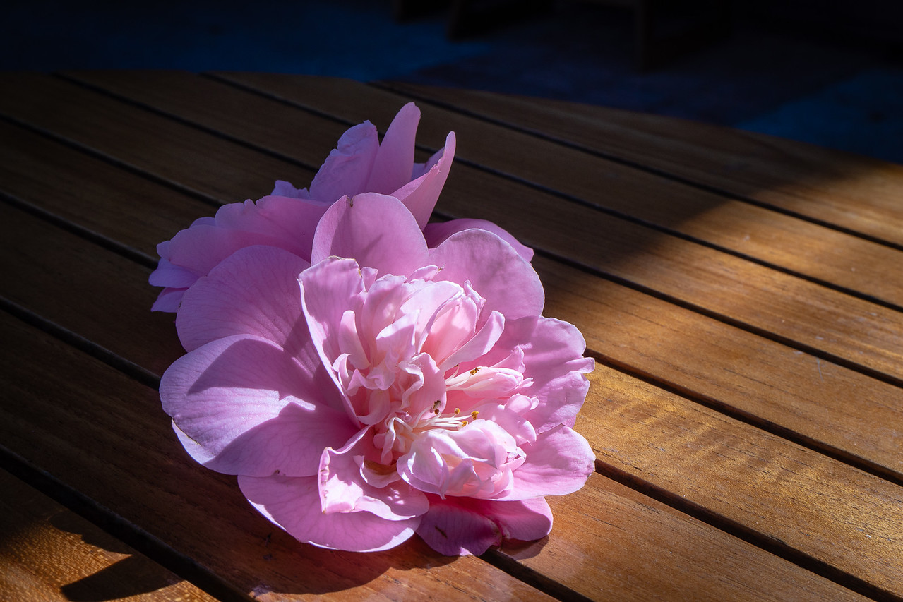 Camellia on one of the cafe tables at Decanso Gardens