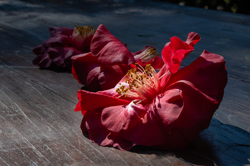 Deep red camellias on a table at Descanso Gardens
