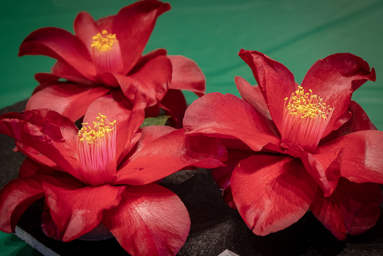 Group of three camlellias entered in the camellia show