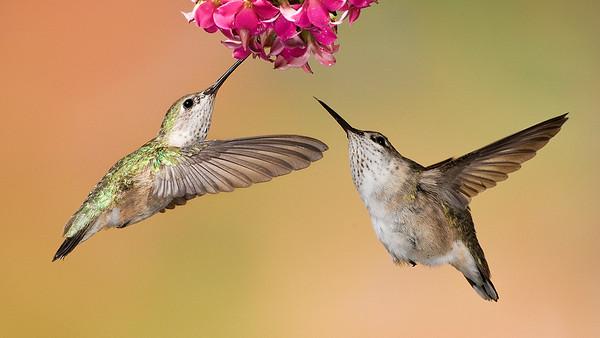 Hummingbirds Intro