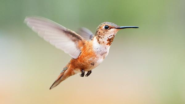 Hummingbirds Flight