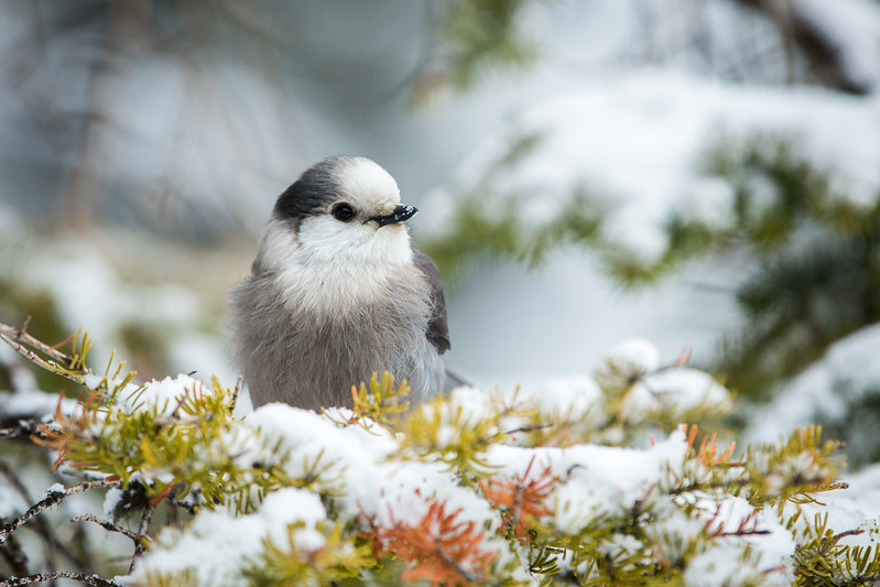 Grey Jay in Lake Louise, Alberta