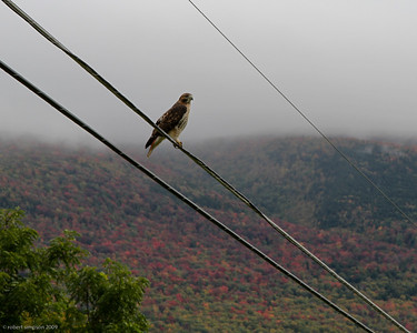 Red-tail hawk on a wire against fall foliage.  I really like the angle of the wires relative to the hawk's position.