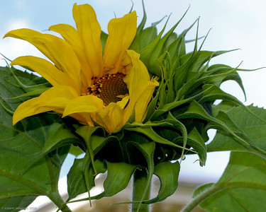 Tardy sunflower