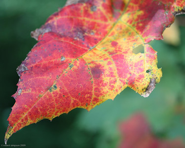 A single leaf captured in its fall transition.