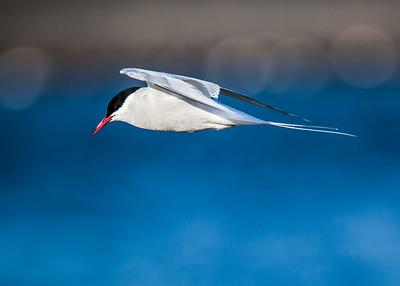 Arctic Tern Aloft