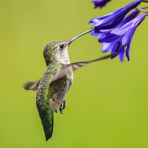 Mazzocco Winery Hummingbird