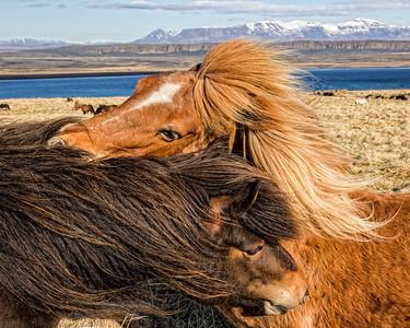 Affectionate Icelandic Horses