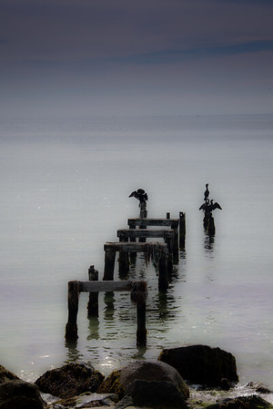 Cormorants on the Watch