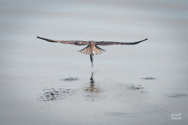 Osprey Glider