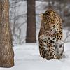 Amur Leopard at Triple D Game Farm