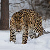 Amur Leopard at Triple D Game Farm