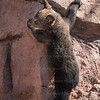 Baby Brown Bear Bearizona