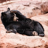 Brown Bear Bearizona