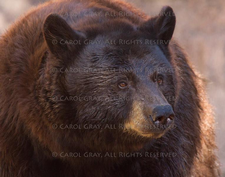 Brown Bear ASDM