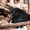 Brown Bear Bearizona