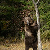 Grizzly Bear Bruno