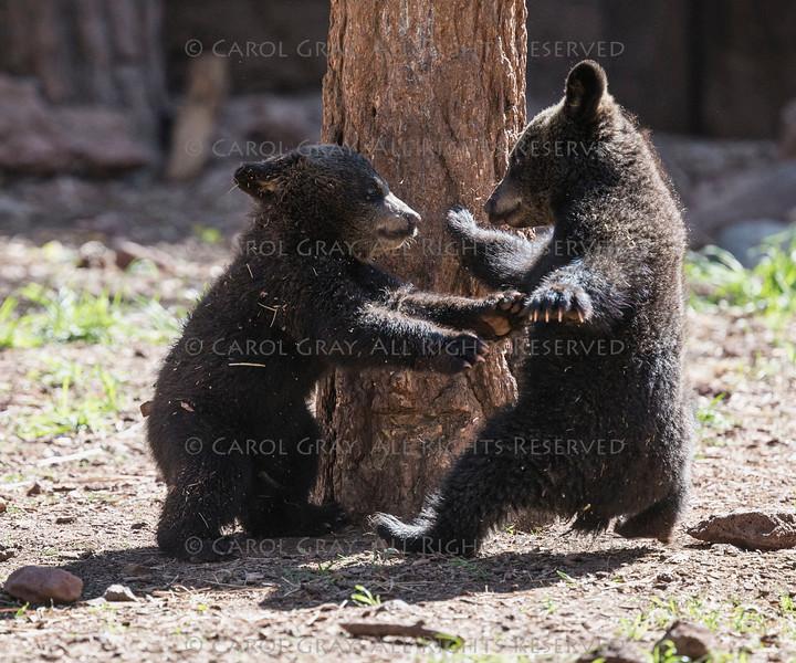 Baby Brown Bear Bearizona