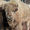 Bison Bearizona