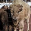 Bison Bearizona