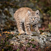 Bobcat Kitten Oakley