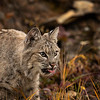 Bobcat Adult Louie