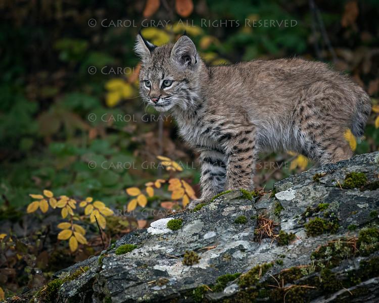Bobcat Kitten Oakley