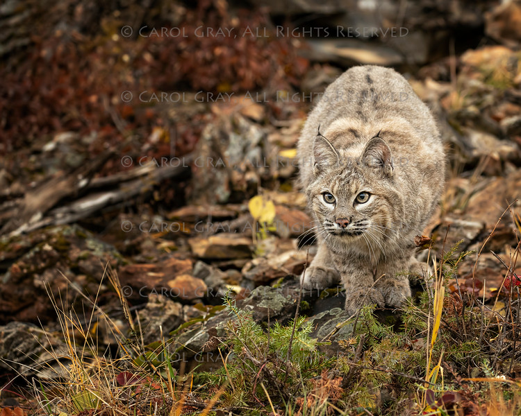 Bobcat Adult Louie