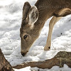 Deer Bearizona