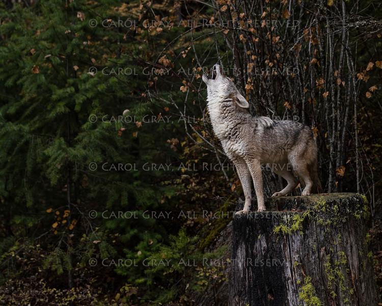 Coyotes Triple D