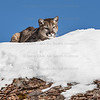 Mountain Lion Cub in the snow on the rocks