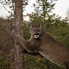 Mountain Lion DeeDee Triple D