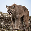 Mountain Lion DeeDee Triple D