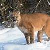 Mountain Lion at Triple D Game Farm