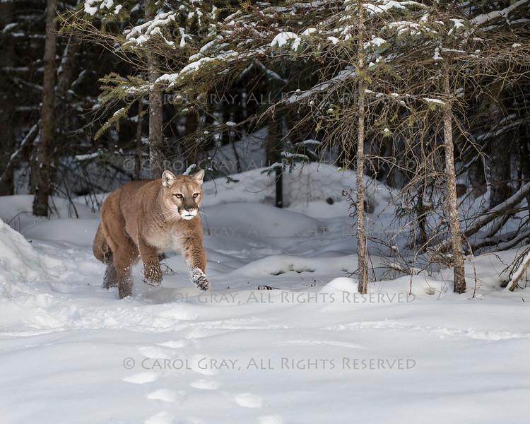 Mountain Lion at Triple D Game Farm