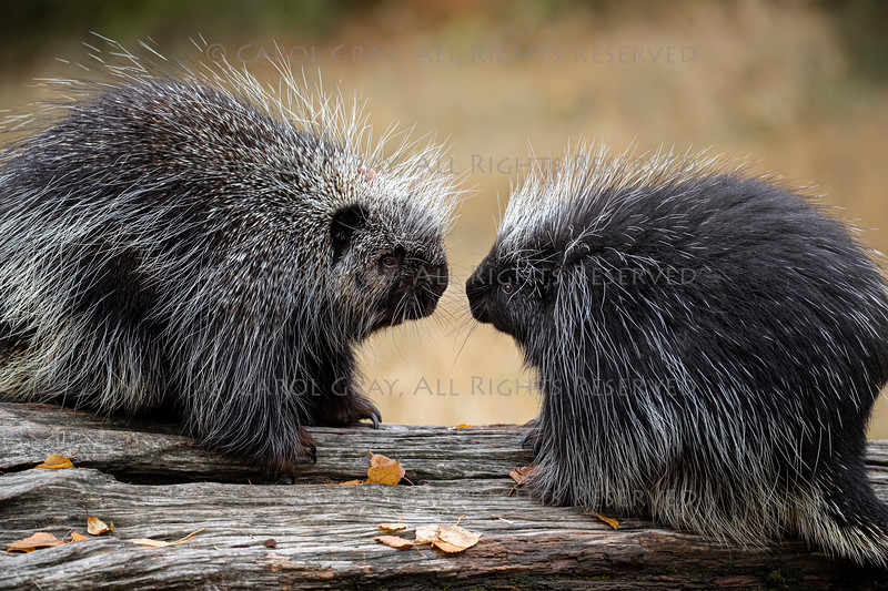 Porcupines Elvis and Presley