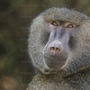 Ollive Baboons