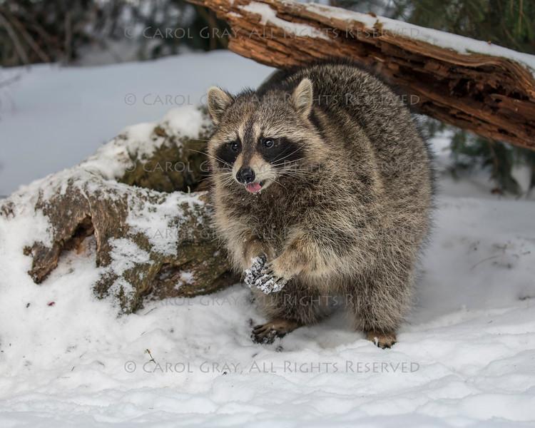 Raccoons at Triple D Game Farm