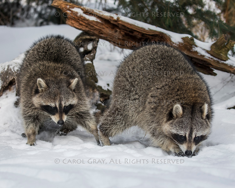 Raccoons at Triple D Game Farm