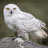 Snowy Owl CRC