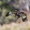 Rd Tailed Hawk CRC