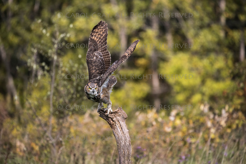 Great Horned Owl Alaska