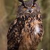 Indonesian Eagle Owl